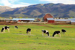 Dairy farm in the Wasatch Mountains. Mountain valley farm with cows, Utah,  USA Royalty Free Stock Image