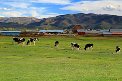 Dairy farm in the Wasatch Mountains. Mountain valley farm with cows, Utah,  USA Stock Images