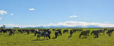 Dairy Farming on Canterbury Plains Panorama Royalty Free Stock Image