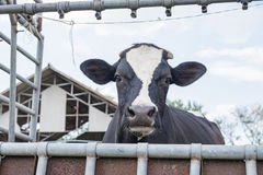 Dairy farming Stock Photography