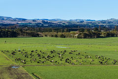 Dairy Farming New Zealand royalty free stock photography