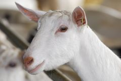 Dairy goat. Saanen dairy goat portrait - purebred Royalty Free Stock Photo