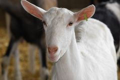 Dairy goat. Saanan dairy goat doe in the barn Royalty Free Stock Images