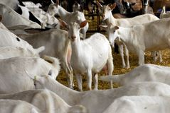 Free Dairy Goat Farming Royalty Free Stock Photo - 15590825