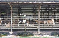 Dairy Goat Stock Image