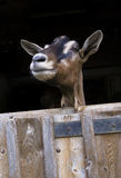 Dairy goat side view of head stock image