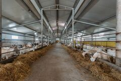 Free Dairy Goats In Modern Free Livestock Stall Royalty Free Stock Photos - 216459648
