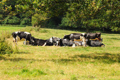 Dairy herd resting Stock Image