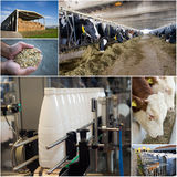 Dairy industry. Collage of dairy industry process from feeding till packaging Stock Image