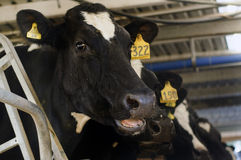 Dairy industry - Cow milking facility Stock Photos