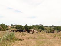 Dairy meat farm cows outside grazing on grass in country Royalty Free Stock Image