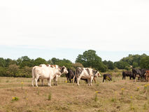 Dairy meat farm cows outside grazing on grass in country Royalty Free Stock Photos