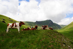 Dairy Mountain cows Royalty Free Stock Images