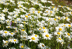Daises Stock Photography