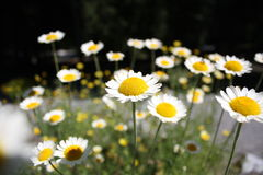 Free Daises Royalty Free Stock Images - 16147609
