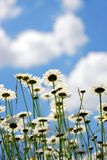 Daises with blue sky Royalty Free Stock Photography