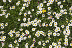 Daises in the field.Spring flowers Royalty Free Stock Image