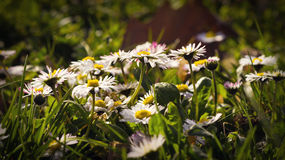Daises flowers in the grass Stock Photo