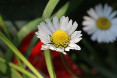 Daises flowers. The white daises in new spring season stock photos