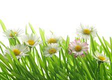 Daises and green grass Stock Photos