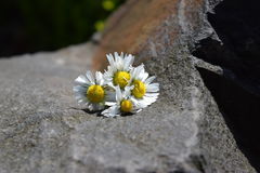 Daises. This photo presents daises on a rock stock photography