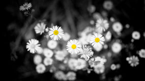 Daises selective color Stock Photography