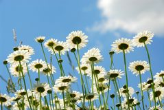 Free Daises With Blue Sky Stock Photo - 858980