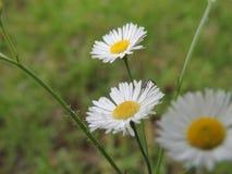 Daiseys kwiat Obrazy Stock