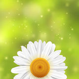 Daisi flower on a green blurred background with sparkles Stock Image