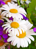 Daisi flowers  bouquet. Stock Image