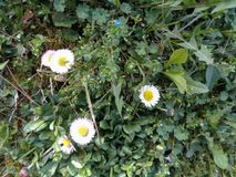 Daisie close up in the grass. Daisie - Bellis perennis is native to western, central and northern Europe widely naturalised in most temperate regions Stock Image
