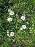 Daisies close up in the grass. Daisie - Bellis perennis is native to western, central and northern Europe widely naturalised in most temperate regions Stock Image