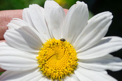 Daisie,chamomile. Daisy close up in hand, with insects Stock Images