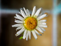 Daisie floating in the water. Chamomile, top view with small depth of field. Flower with white petals and yellow head. Field of daisies floating in the water Royalty Free Stock Image