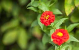 Daisie in the garden. Close up daisie in the garden Stock Photography