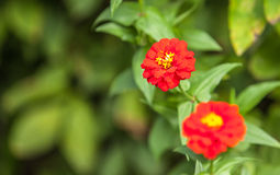 Daisie in the garden Stock Photography