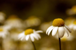 Daisies. A field of daisies with emphasis on the foreground flower. Color and softness sets the mood Stock Image