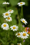Daisies. Blooming daisies grow in the garden Royalty Free Stock Photo