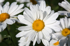 Daisies. Close-up of large white ox-eye daisies (Leucanthemum vulgare Stock Photo