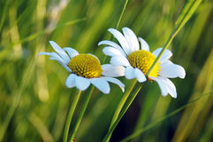 Daisies. Two daisies Stock Image