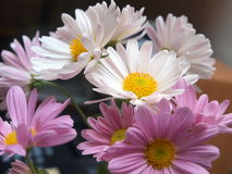 Daisies. Pretty white and mauve daisies stock image
