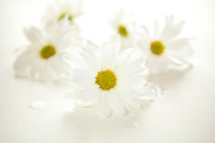 Daisies Stock Photography