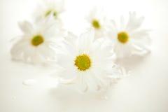 Daisies. White daisies on white - shallow DOF Stock Photography