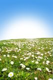 Daisies. Meadow with a lot of daisies Royalty Free Stock Photography