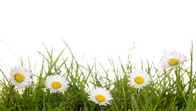 Daisies. A meadow with daisies before white background Stock Photo