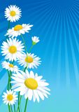 Daisies. Beautiful  daisies under blue sky Stock Images