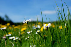 Daisies. Cute daisies on the green field background. Shallow DOF Royalty Free Stock Photo