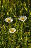 Daisies. Fresh wild daisy under the summer sky Stock Image