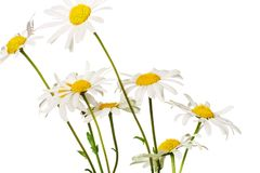 Daisies. Isolated daisies on white background Royalty Free Stock Images