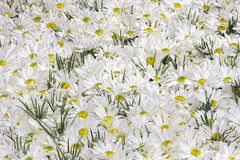 Daisies. An over abundance of daisies Royalty Free Stock Image